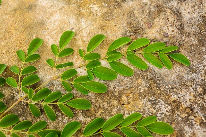 The Healing Power of Moringa