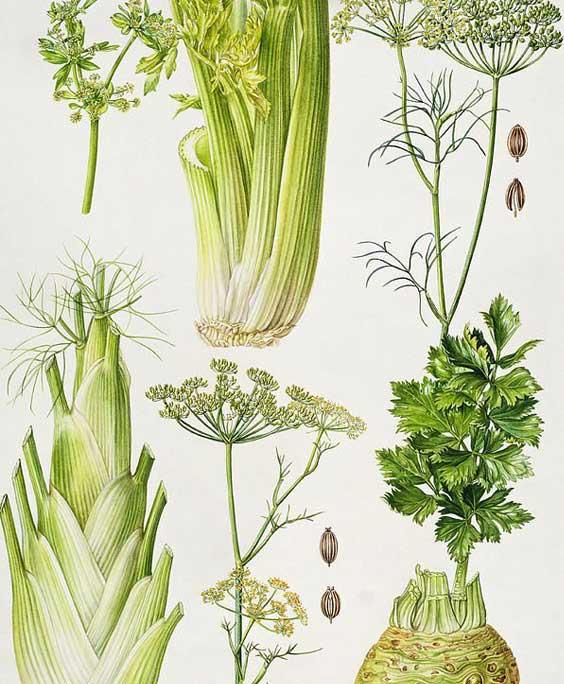 Celery: botanical image of the celery plant