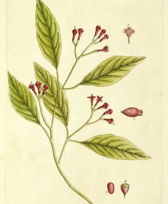 Clove buds: botanical image of the clove buds plant