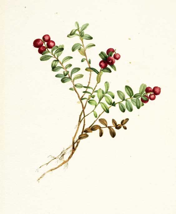Cranberry: botanical image of the cranberry plant