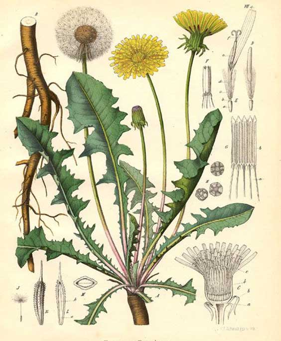 Dandelion leaf: botanical image of the dandelion leaf plant