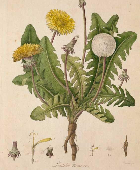 Dandelion root: botanical image of the dandelion root plant