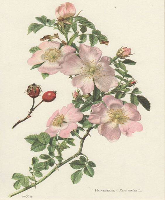 Dog rose: botanical image of the dog rose plant
