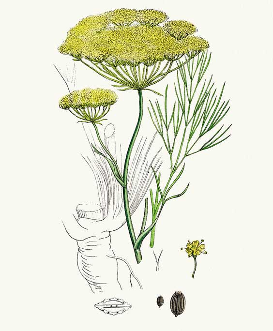 Fennel: botanical image of the fennel plant