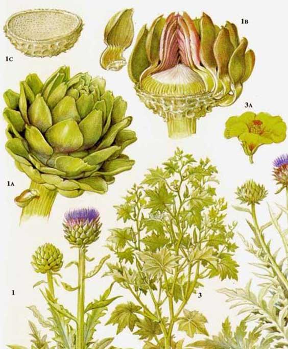 Globe artichoke: botanical image of the globe artichoke plant