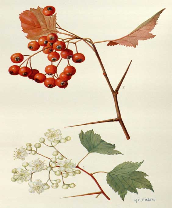 Hawthorn berry and leaf: botanical image of the hawthorn berry and leaf plant