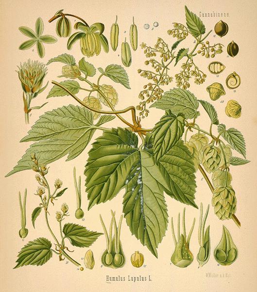 Hops: botanical image of the hops plant