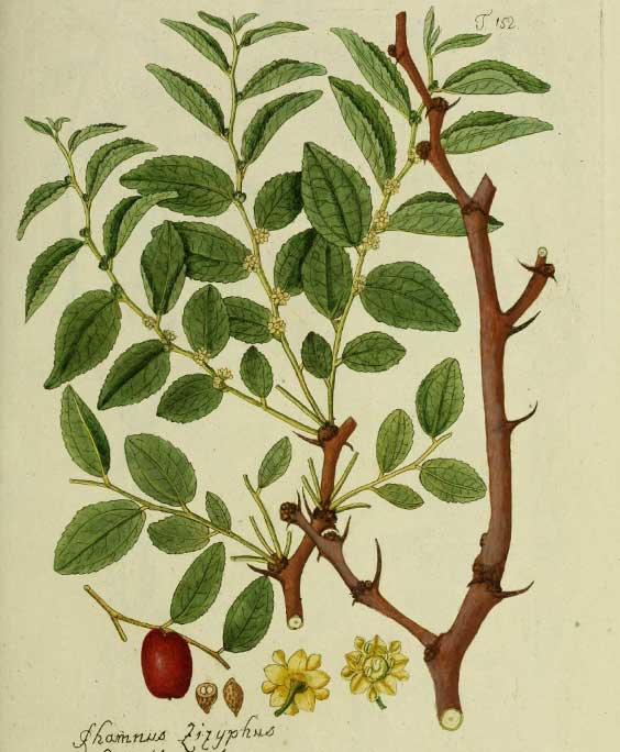Jujuba: botanical image of the jujuba plant