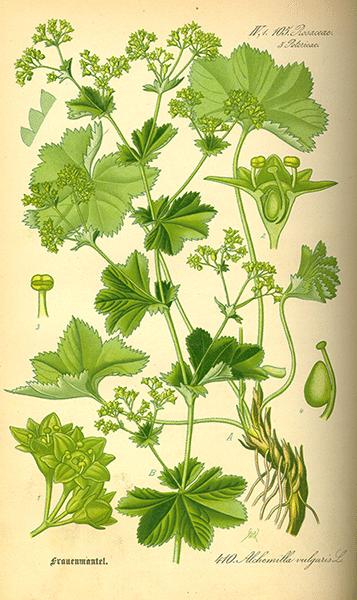 Ladys mantle: botanical image of the ladys mantle plant