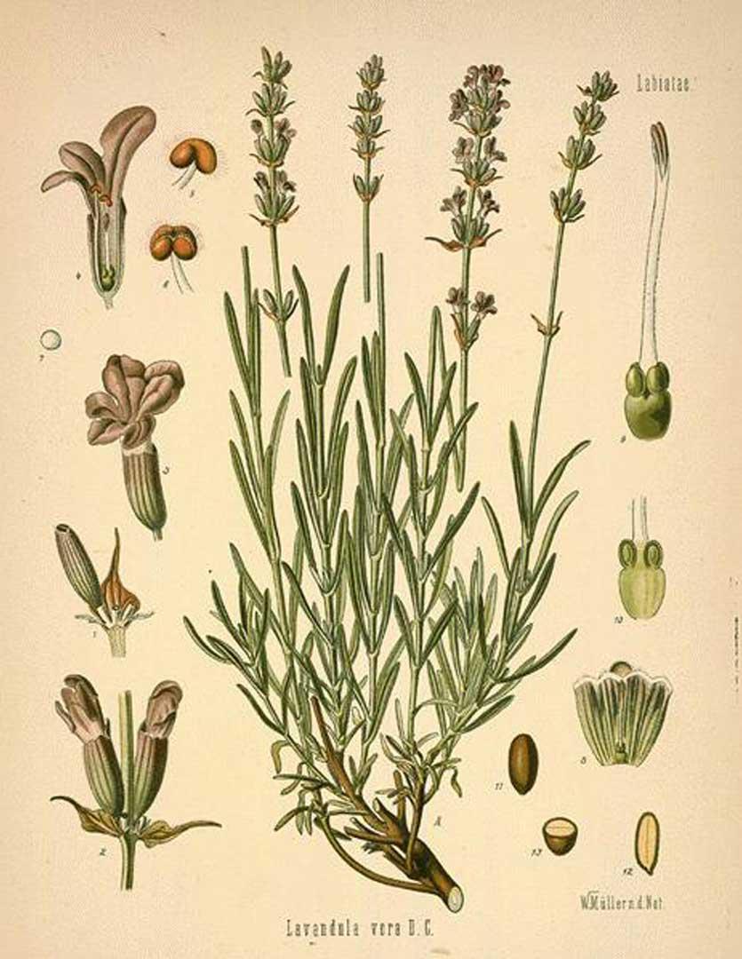 Lavender: botanical image of the lavender plant