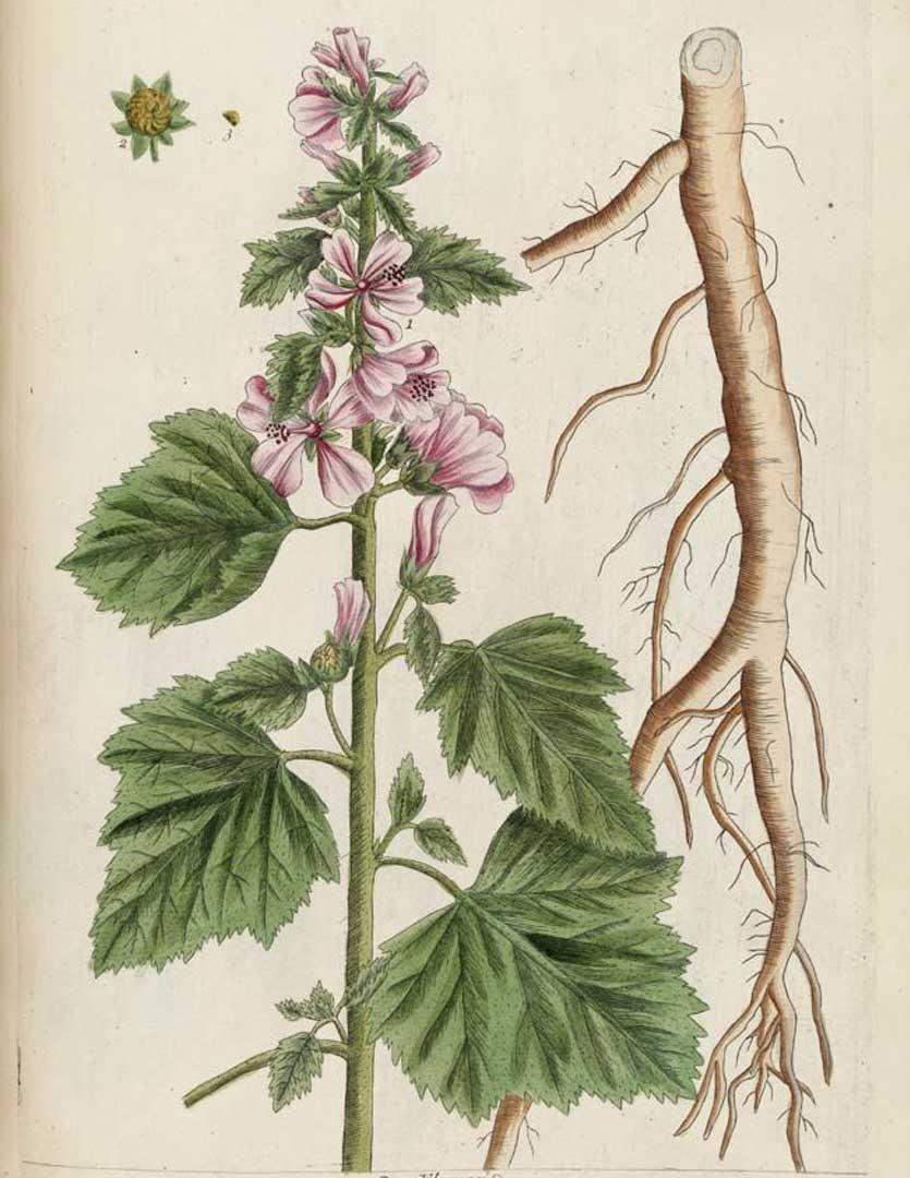 Marshmallow: botanical image of the marshmallow plant