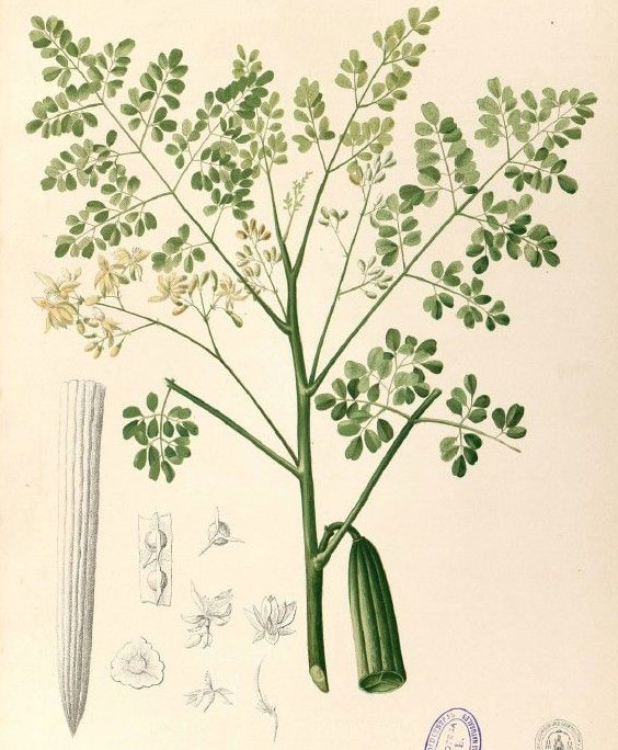 Moringa: botanical image of the moringa plant