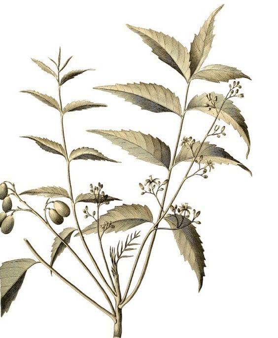 Neem: botanical image of the neem plant