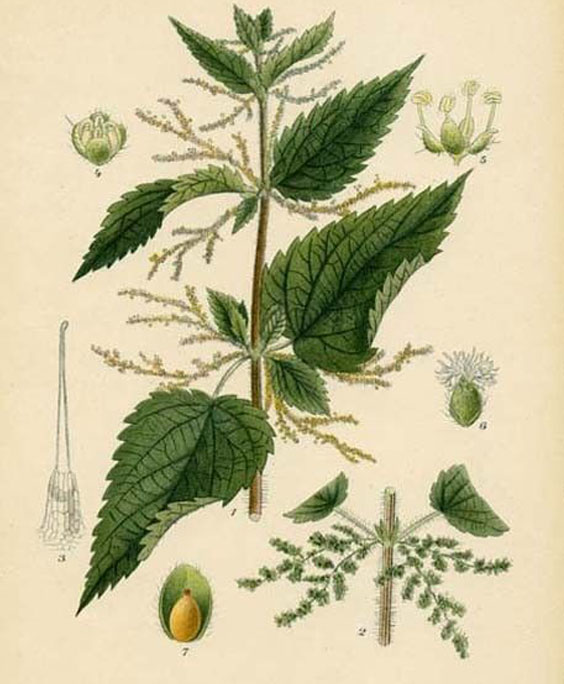 Nettle: botanical image of the nettle plant