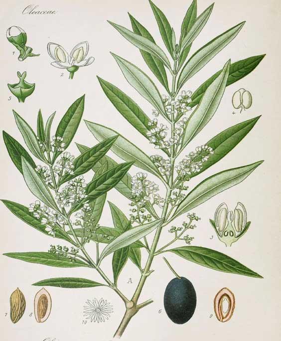 Olive: botanical image of the olive plant