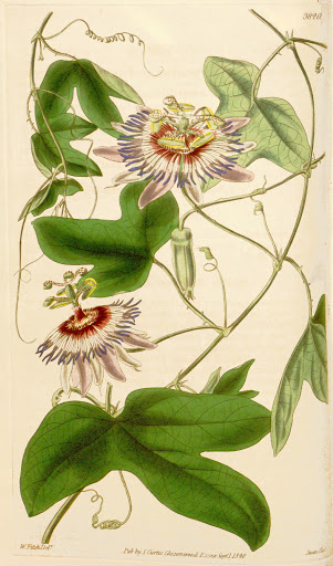 Passion flower: botanical image of the passion flower plant