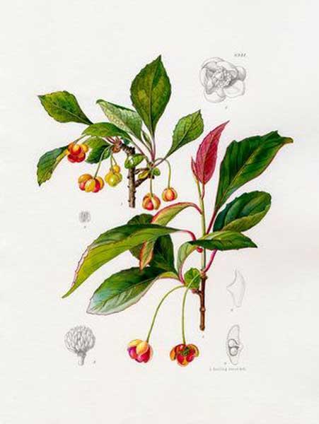 Schisandra: botanical image of the schisandra plant