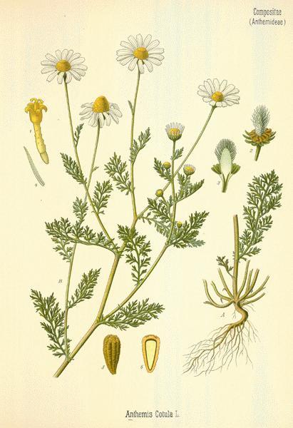 Chamomile: botanical image of the chamomile plant