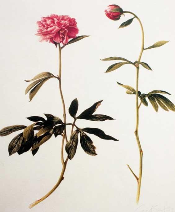 Peony: botanical image of the peony plant