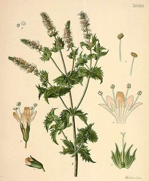 Peppermint: botanical image of the peppermint plant