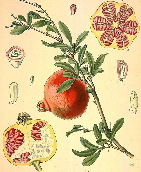 Pomegranate: botanical image of the pomegranate plant