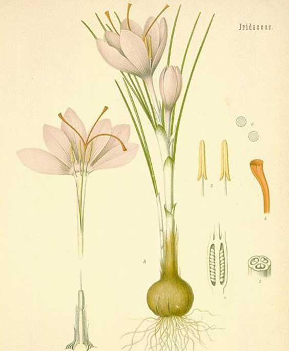 Saffron: botanical image of the saffron plant