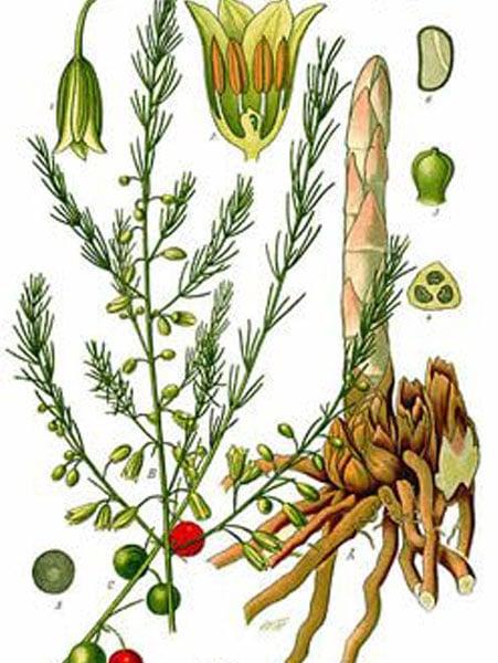Shatavari: botanical image of the Shatavari plant