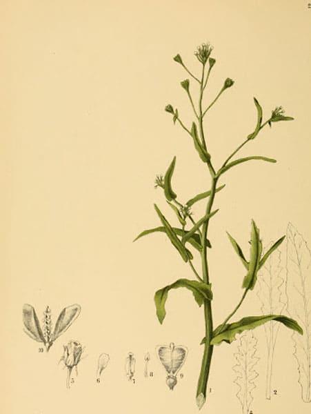 Shepherds purse: botanical image of the Shepherds purse plant