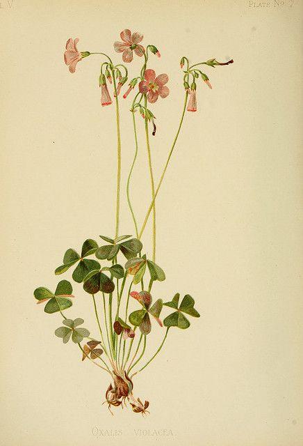 Sorrel: botanical image of the sorrel plant
