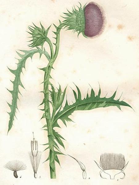 St Marys thistle: botanical image of the St Marys thistle plant