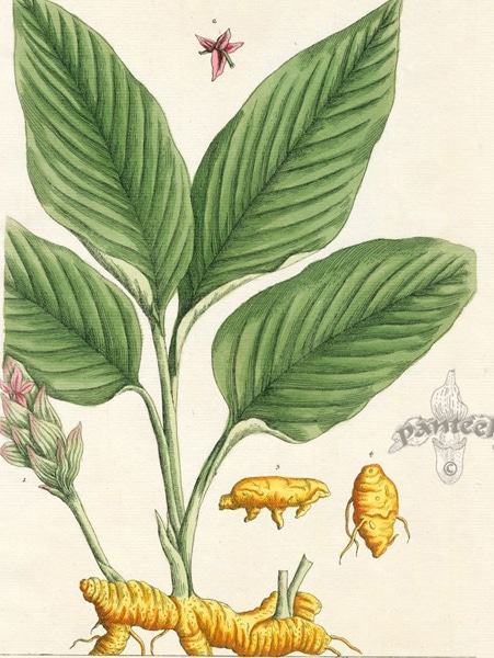 Turmeric: botanical image of the turmeric plant