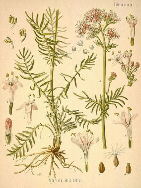 Valerian: botanical image of the valerian plant