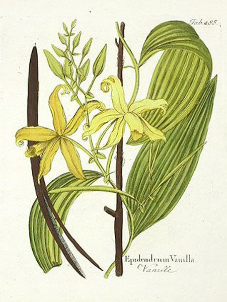 Vanilla: botanical image of the vanilla plant