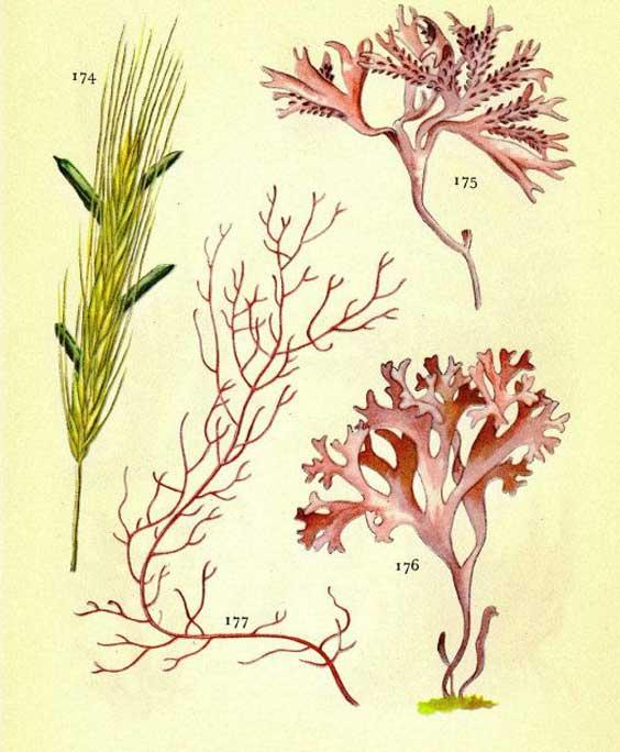 Agar agar: botanical image of the agar agar plant