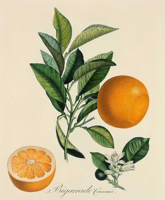 Citrus peel: botanical image of the citrus peel plant
