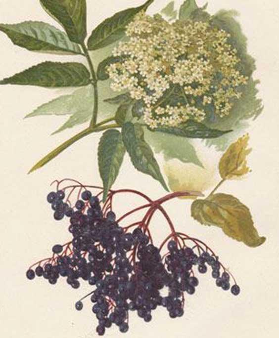 Elderberry: botanical image of the elderberry plant