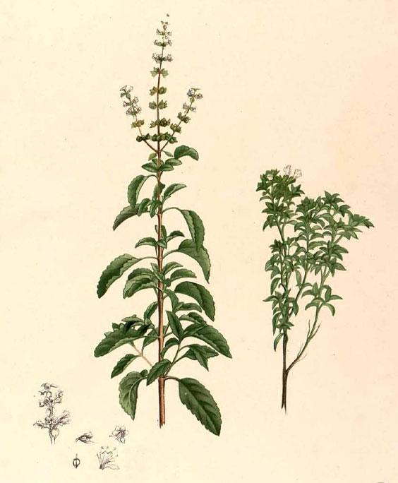 Holy basil: botanical image of the holy basil plant