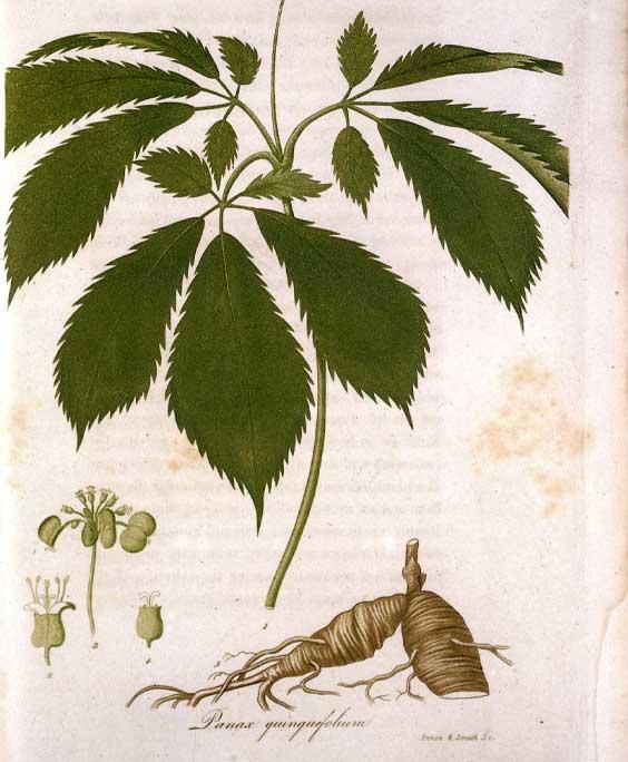 Korean ginseng: botanical image of the korean ginseng plant