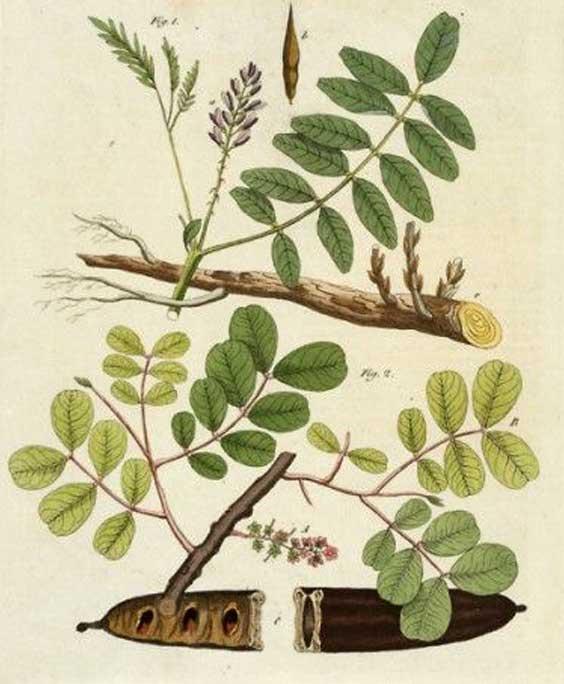 Liquorice: botanical image of the liquorice plant