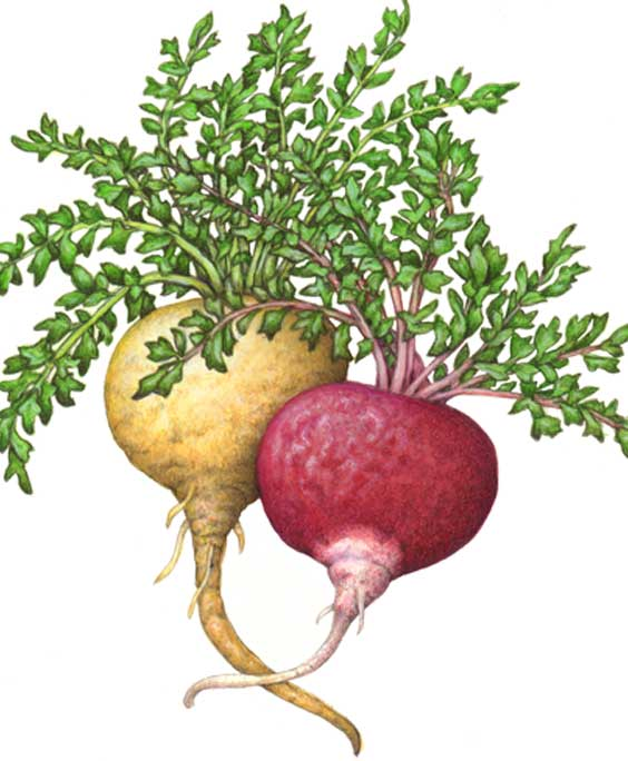 Maca: botanical image of the Maca plant