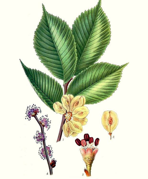Slippery elm: botanical image of the slippery elm plant