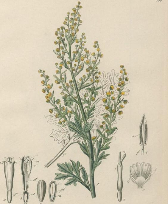 Wormwood: botanical image of the wormwood plant