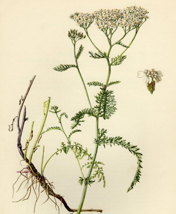 Yarrow: botanical image of the yarrow plant