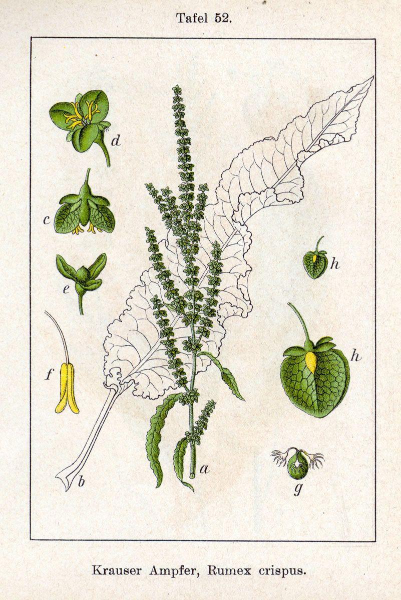 Yellow dock: botanical image of the yellow dock plant