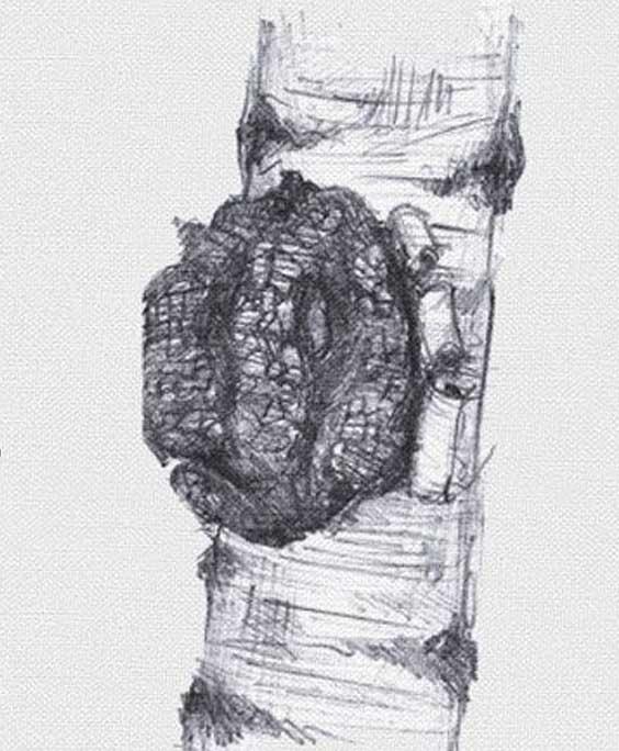 Chaga mushroom: botanical image of the chaga mushroom plant