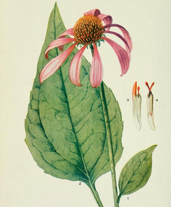 Echinacea angustifolia: botanical image of the echinacea angustifolia plant