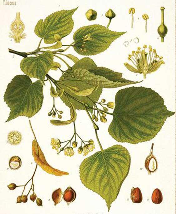Linden: botanical image of the linden plant