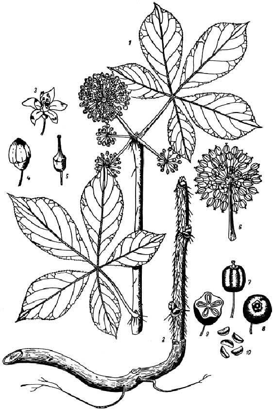 Siberian ginseng: botanical image of the siberian ginseng plant