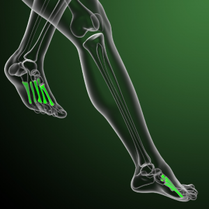 Illustration of leg bones