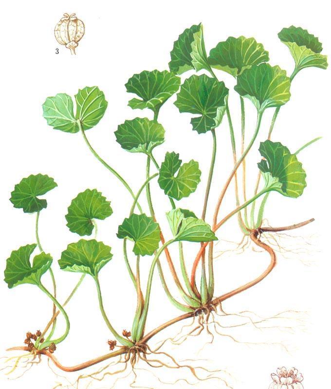 A botanical image of Gotu Kola